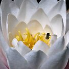 Nymphaea - Wasp on water lily by Andy Morley