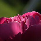 Pink rose by Zsolt Hever