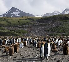 King Penguin Colony, Salisbury Plain, South Georgia Island by parischris