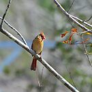 Female Cardinal by Irvin Le Blanc
