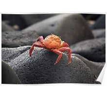 Grapsus grapsus (red rock crab) Poster