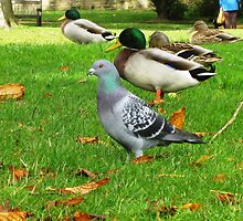 Pigeon among the Ducks, Townley Park, Burnley by Rosie Connor