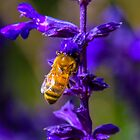 Bee on salvia by indiafrank