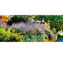 South Australia - CrabTree Vineyard - Lavender garden Photographic Print