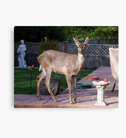 There's a Deer in my Bird-Bath Canvas Print