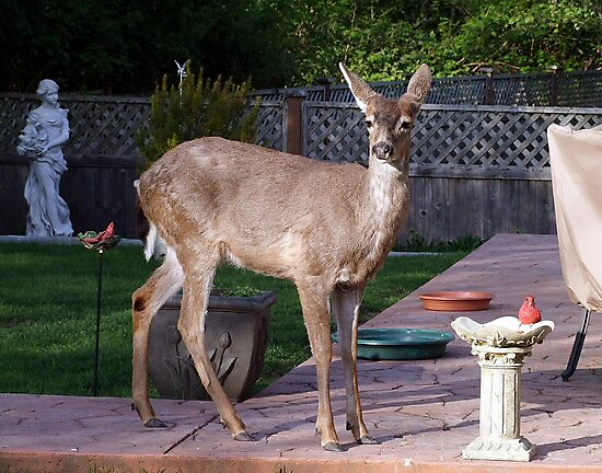 There's a Deer in my Bird-Bath by George Cousins