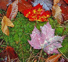 Sugar Maple and American Beech Leaves, Muskoka, Ontario by Mark Bergman