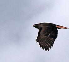 Dark Morph Red-Tailed Hawk  by Chuck Gardner