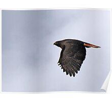 Dark Morph Red-Tailed Hawk  Poster