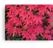 The front yard Japanese maple Canvas Print