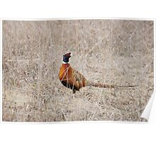 Ringneck Pheasant-Lincoln County Poster