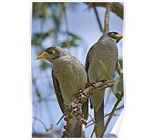 Noisy Miner Birds - Australia Poster