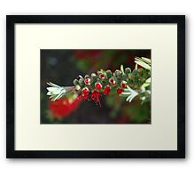 Aussie Red, breaking forth Framed Print