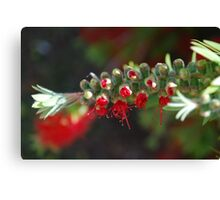 Aussie Red, breaking forth Canvas Print