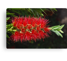 Aussie Red, Fiery red.  Canvas Print
