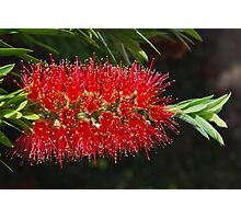 Aussie Red, Fiery red.  Photographic Print