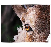 Aoudad Eye - Close-Up Poster