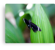 Black butterfly - Melbourne zoo Canvas Print