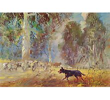 Fred the Kelpie - Driving the Flock Photographic Print