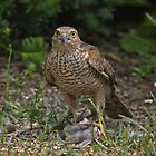 Juvenile Sparrowhawk daring you to interfere with lunch by Hugh J Griffiths