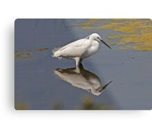 Little Egret searching for lunch Metal Print