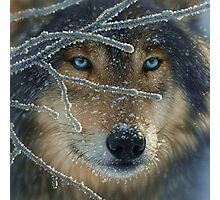 Wolf Eyes Photographic Print