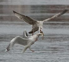 Seagulls fighting over a fish by Andy Morley
