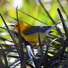 Golden Swamp Warbler by Irvin Le Blanc