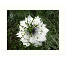 Love-in-a-Mist Art Print