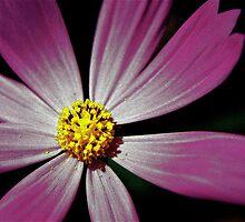 Pink Daisy by MarinaOZ