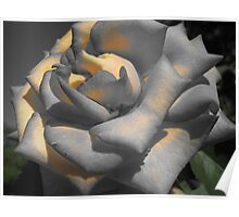 Color Accented Rose in Houston, TX Poster