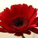 Big Red Gerbera by stellaozza