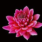 SIMPLY PINK by Rodney55