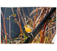 Robin on a net handle whilst fishing Poster
