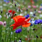 Poppy Central by DianeRocks