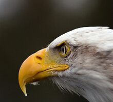 Bald Eagle by mrshutterbug