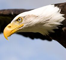 Bald Eagle Flying by mrshutterbug