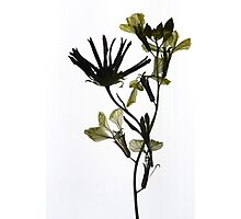 pale yellow petals Photographic Print