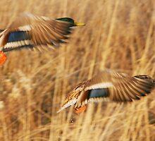 drake and hen mallard-Sutherland by Matt  Behm