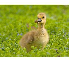 gosling Photographic Print