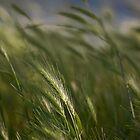 Grasses by Rachelle Vance