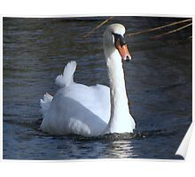 A very fine swan indeed.......... Poster