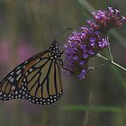 Monarch Butterfly by Melva Vivian
