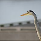 Posing heron by PeterBusser