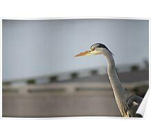 Posing heron Poster