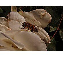 Bee Beauty Photographic Print
