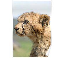 Young Cheetah Cub Poster