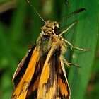 Yellow Banded Dart by John  Spry