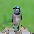 Blue Jay by Irvin Le Blanc