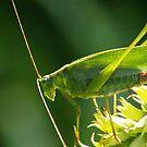 Grasshopper at sundown by kellimays